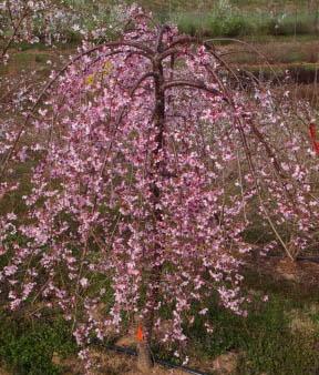 Prunus 'NCPH1' PPAF