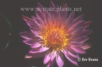 Nymphaea 'Pink Platter'