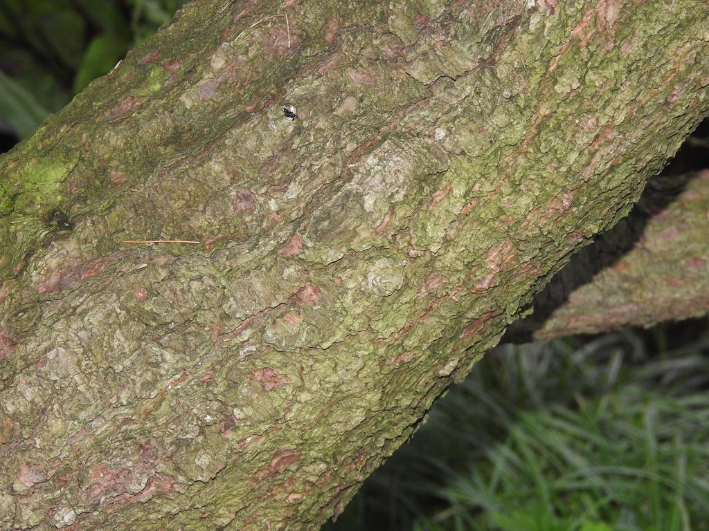 Pinus strobus 'nana' bark