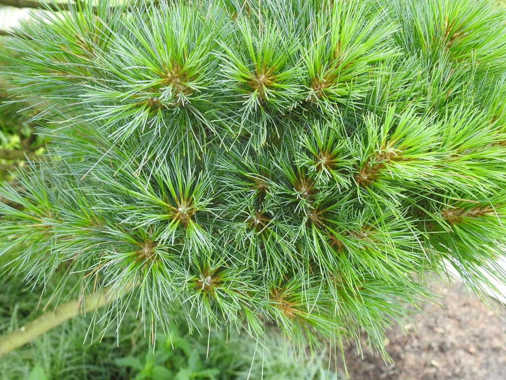 Pinus strobus 'nana' needles