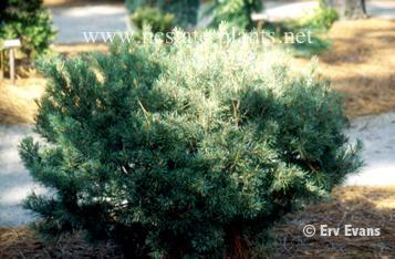 Pinus sylvestris 'Glauca Nana'