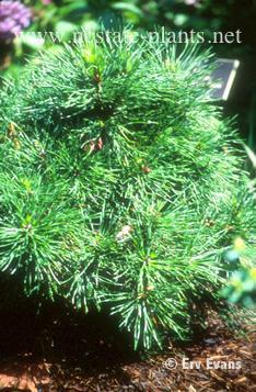 Pinus sylvestris 'Nana'
