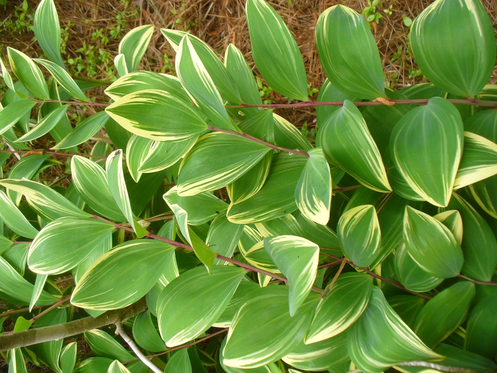 Polygonatum odoratum 'Variegatum' in spring/summer