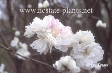 Prunus persica Corinthian hybrids