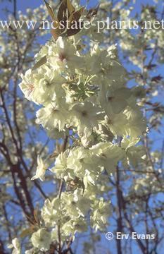 Prunus serrulata 'Ukon'