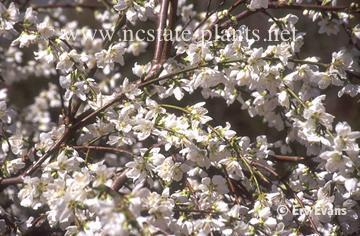 Prunus persica var. nucipersica 'White Glory'