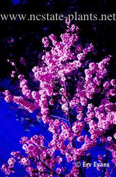 Prunus x bilireana