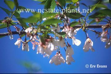 Prunus x 'Whitecomb'