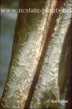 Pseudocydonia sinensis