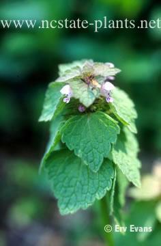 Lamium purpureum