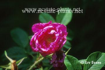 Rosa 'Purple Pavement'