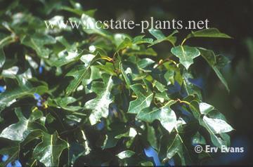 Quercus georgiana