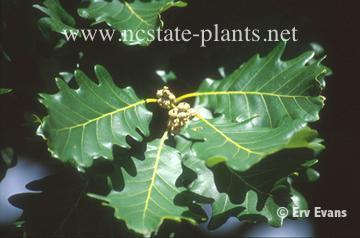 Quercus franinetto