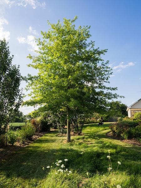 Quercus schumardii