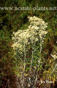 Gnaphalium obtusifolium var. praecox