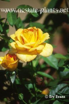 Rosa 'SAValife'