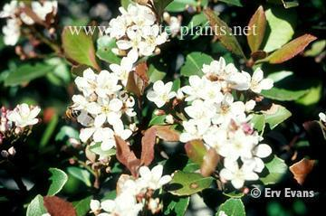 Rhaphiolepis indica (Indian Hawthorn) | North Carolina Extension