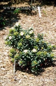 Rhaphiolepis umbellata (Indian Hawthorn, Yeddo Hawthorn) | North