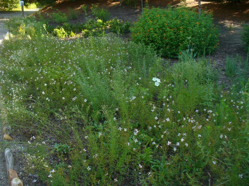Ipomoea pandurata with Rhexia mariana in summer in Moore County