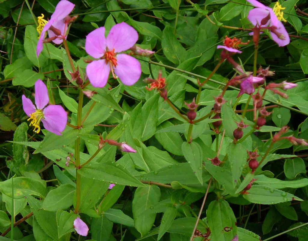 Rhexia mariana flowers in late summer in Moore County
