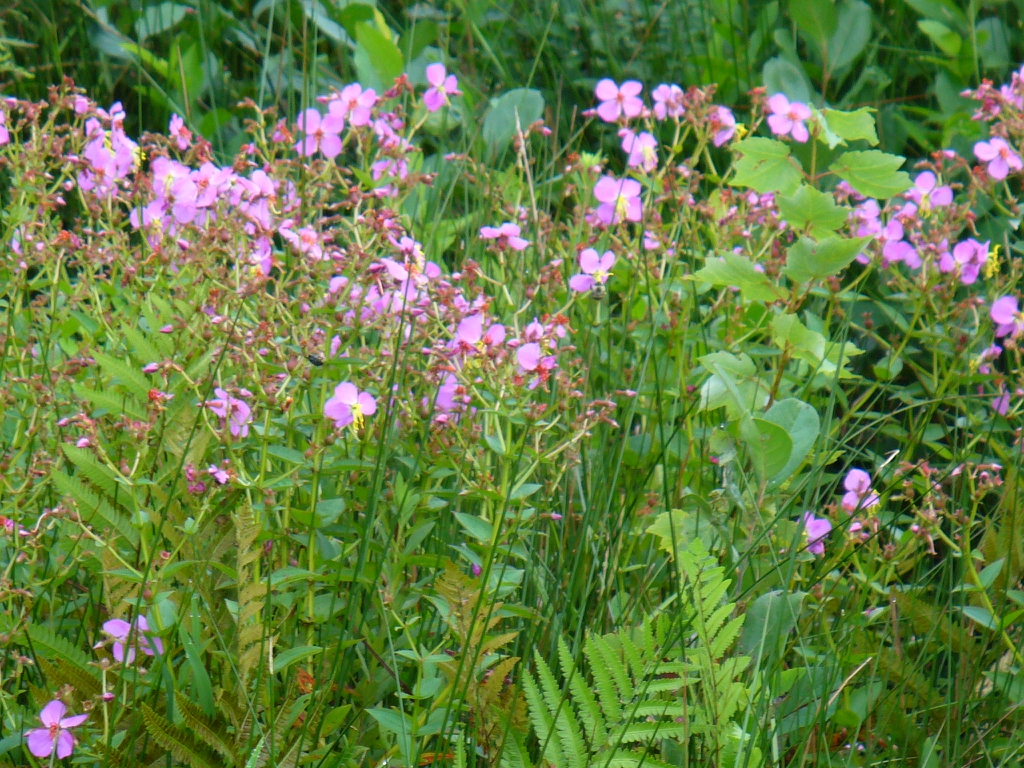 Rhexia mariana flowers and leaves in late summer in Moore County