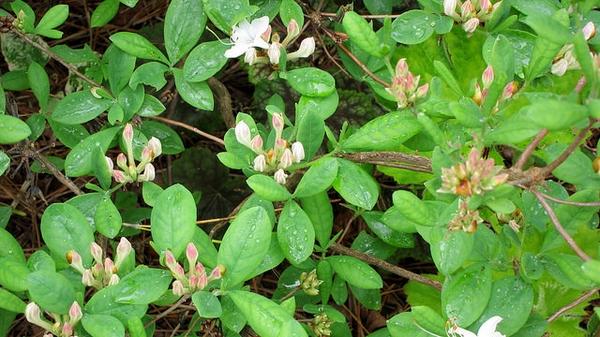 Rhododendron atlanticum