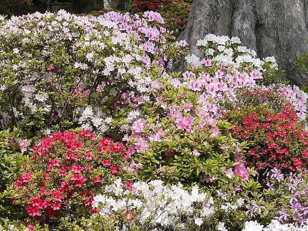 Rhododendron obtusum