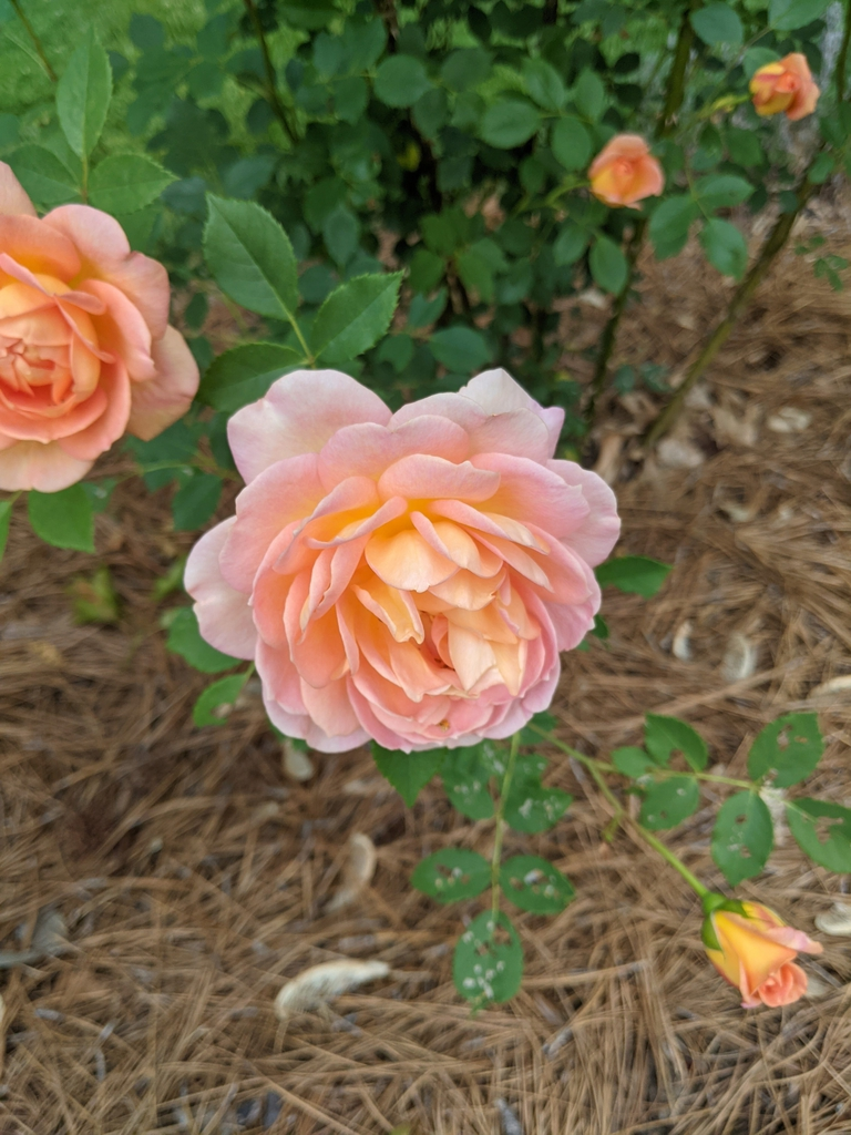 Lady of Shalott blooms and buds