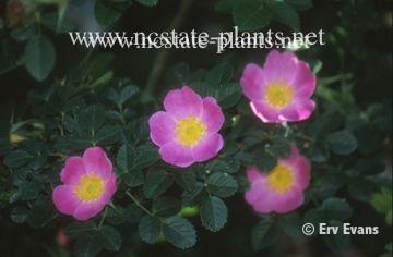Rosa centifolia pomponia