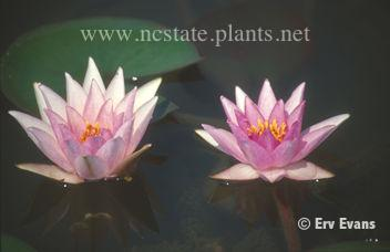 Nymphaea 'Rosy Morn'