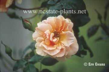 Rosa 'Royal Sunset'