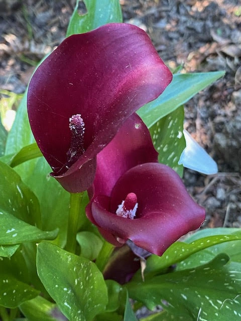'Royal Valentine' deep burgundy spathe and red to white spadix.