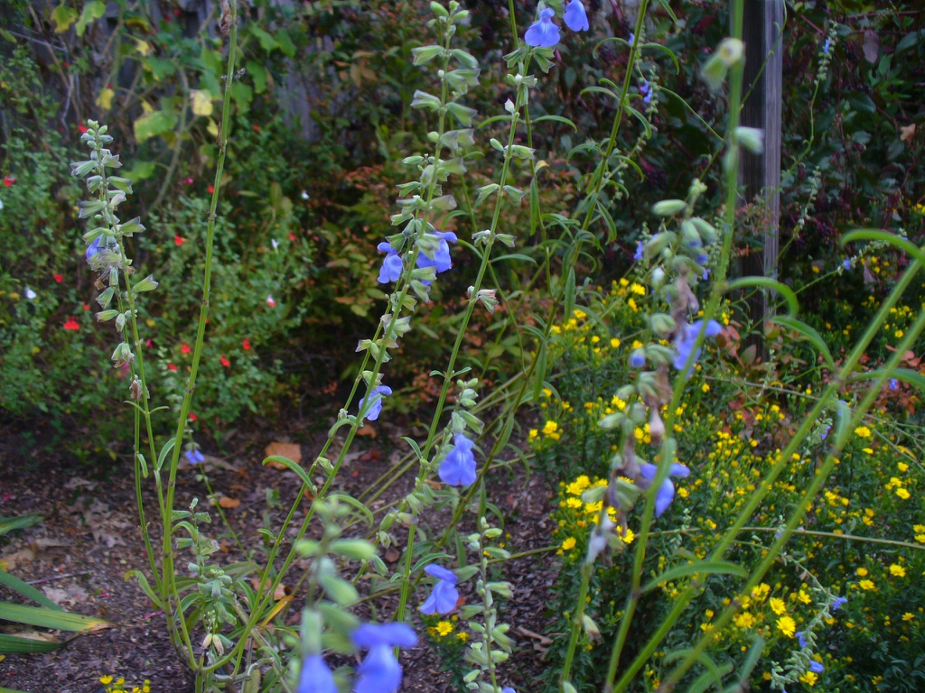 Salvia azurea in the fall in Moore County