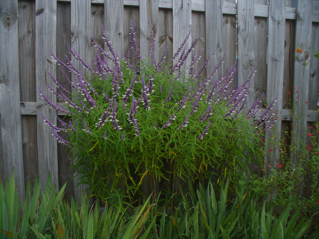 Salvia leucantha in the fall in Moore County