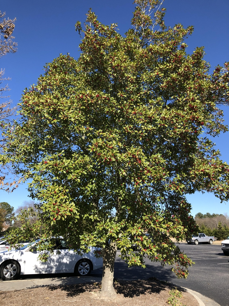 Works well as a parking lot tree, Pitt County Arboretum