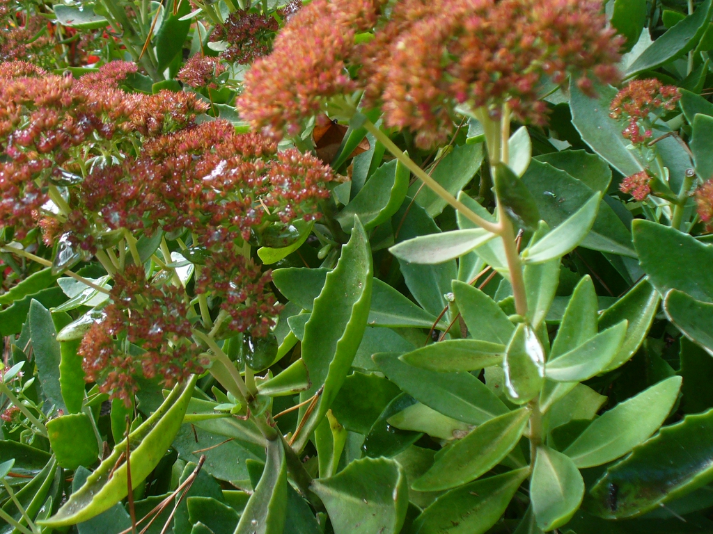 Sedum spectabile 'Autumn Joy' in the fall in Moore County
