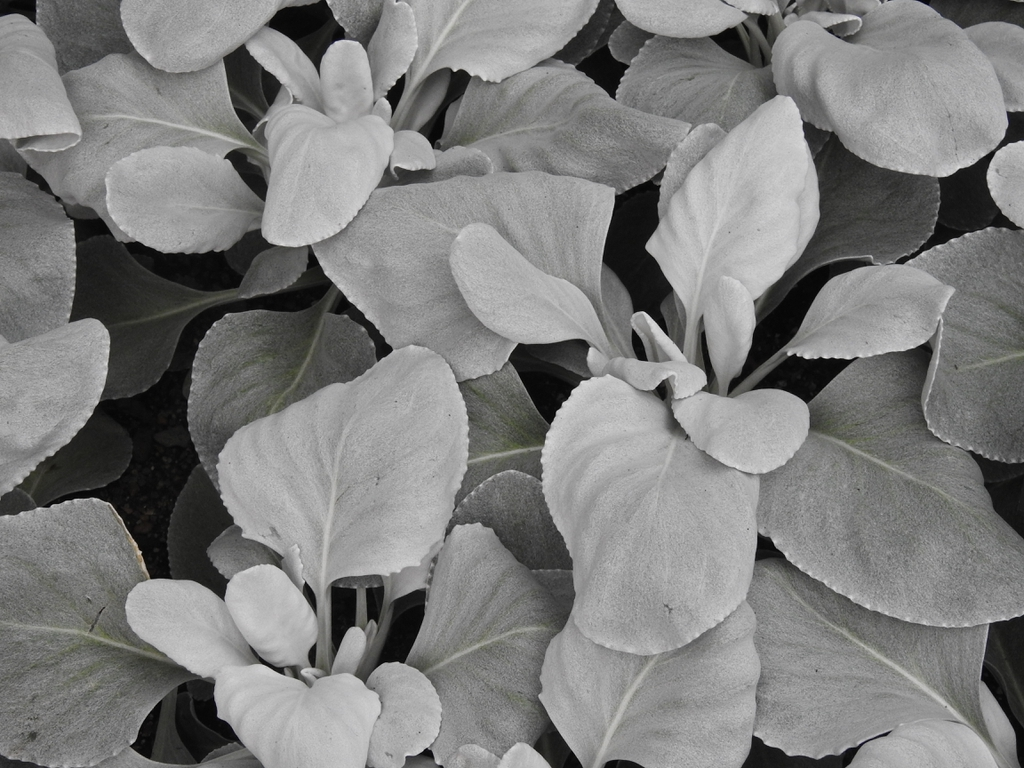 Senecio candicans 'Angel Wings' leaves