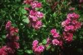 Rosa cathayensis platyphylla