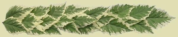Betula nigra 'Shiloh Splash' (PP16,362)