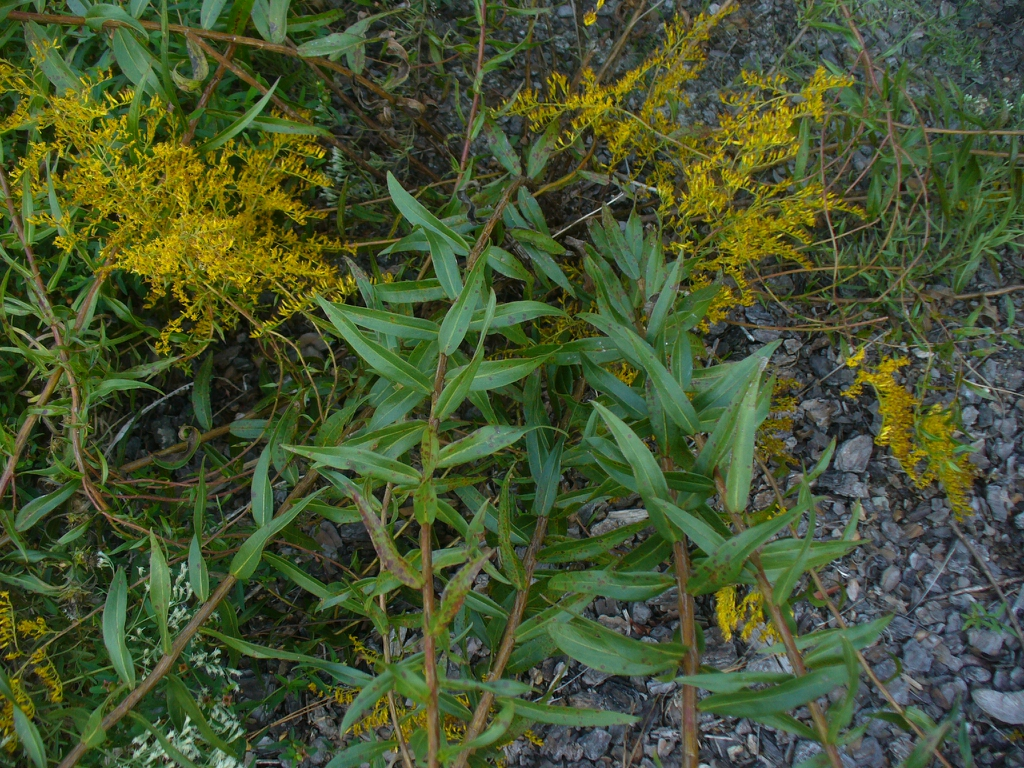 Solidago odora in the fall in Moore County