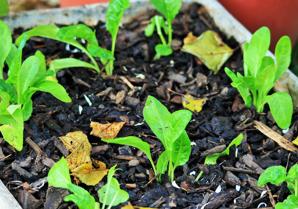 Spinacia oleracea