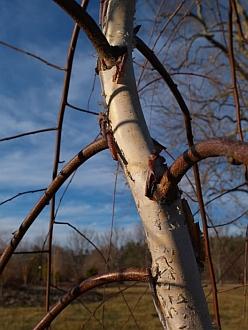 Betula nigra 'Summer Cascade' PP15,105
