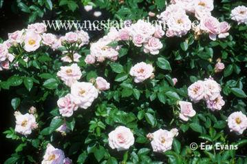 Rosa 'MELtonie'