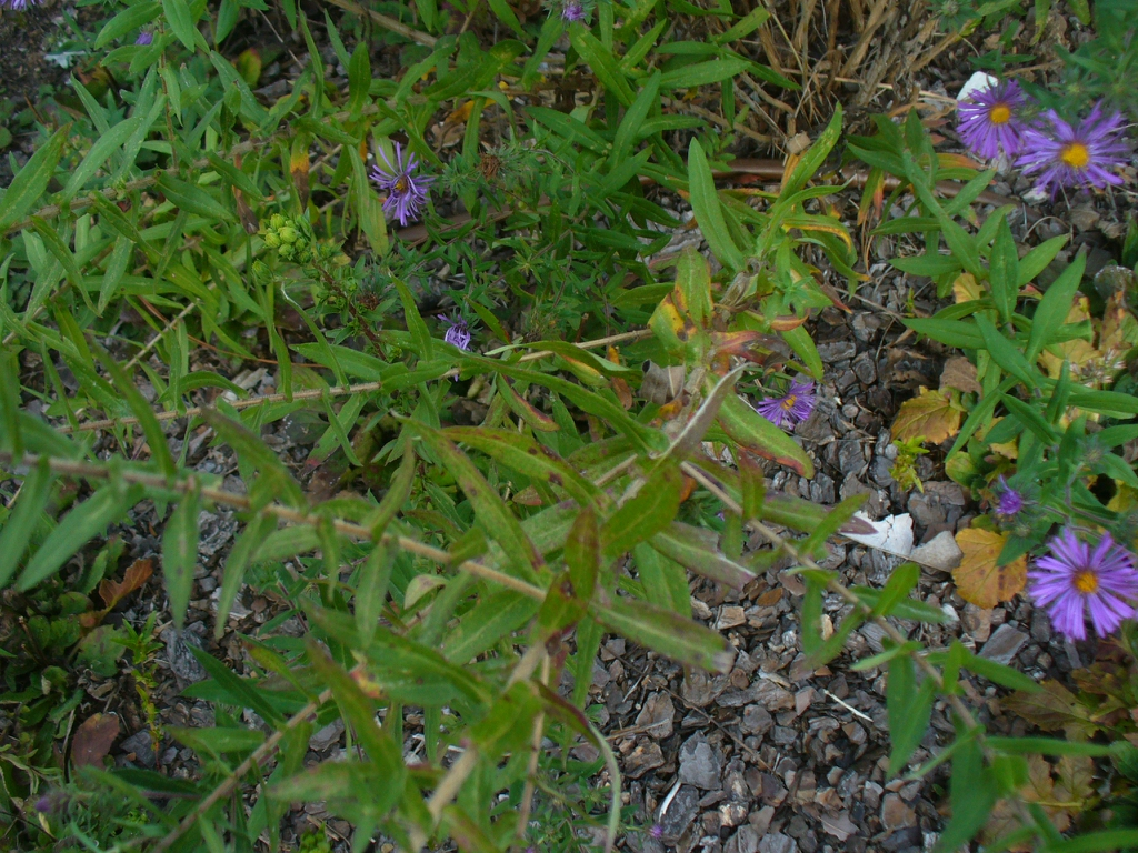 Symphyotrichum novae-angliae leaves in the fall in Moore County