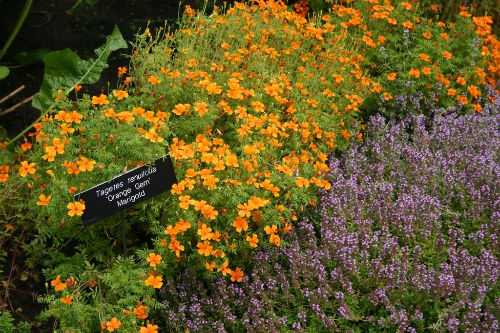 Tagetes tenuifolia 'Orange Gem' planted with thyme.