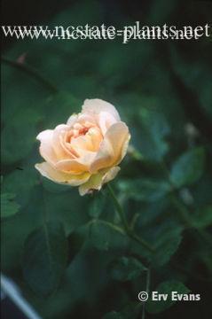 Rosa 'AUStamora'