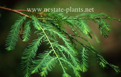 Taxodium distichum v. mexicana
