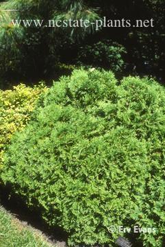 Thuja occidentalis 'Little Gem'