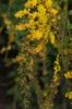 Solidago rugosa 'Fireworks' flowers