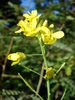 Brasscia rapa (Chinensis Group)